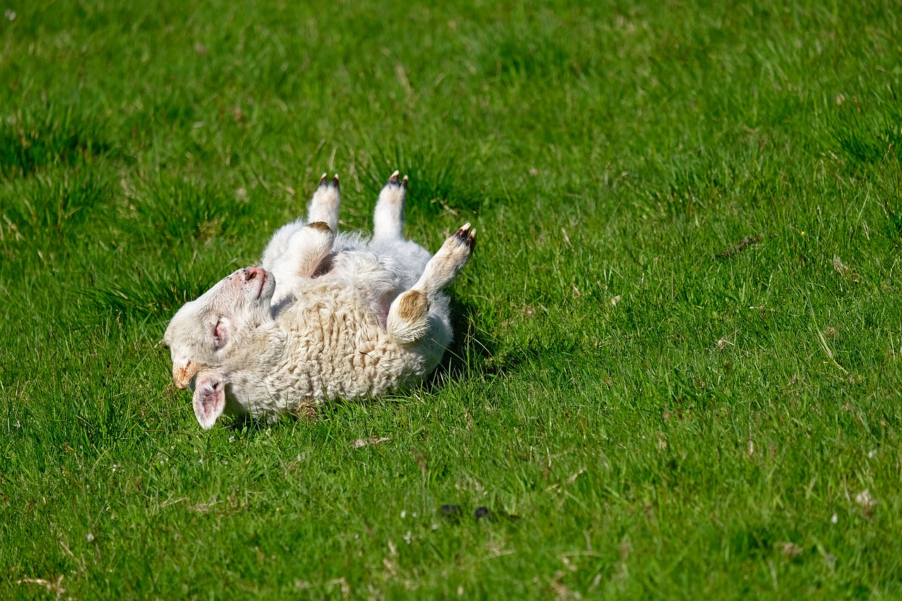 Lamb rolling in a field